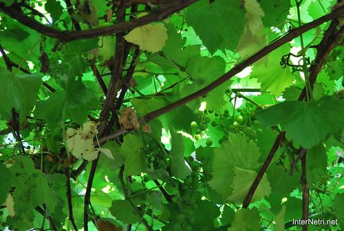 Виноград, Дім, сад, город Ukraine InterNetri 054