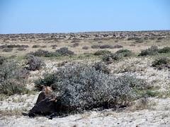 Lioness watching game in Etosha (Nevrimski) Tags: lion watching prey game lioness