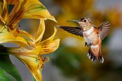 How about a Hug? (Patricia Ware) Tags: allenshummingbird alstroemeria backyard birdsinflight california canon fullframe manhattanbeach multipleflash selasphorussasin tripod ©2018patriciawareallrightsreserved sunrays5