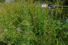 1479-20L (Lozarithm) Tags: caenhill devizes wilts canals flora wildflowers kennetavon k50 pentax zoom 1855 smcpda1855mmf3556alwr
