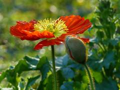 What a Wonderful World ! Quel Monde Magnifique ! P1200972 ( RêveOcéanOceanDream) Tags: coquelicot rouge fleur pavot flower flor garden manine bouton rêveocéanoceandream nantes bretagne brittany pdl france europe