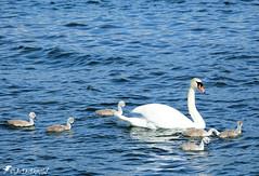 Les six sont toujours là ! (Jean-Daniel David) Tags: oiseau oiseaudeau famille cygne cygneau cygnon blanc bleu gris lac lacdeneuchâtel yvonand nature suisse suisseromande vaud volatile bébé