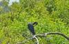 O2K_9598 (68photobug) Tags: 68photobug nikon d7000 sigmadg 150500mm usa centralflorida polkcounty lakeland preserve refuge sanctuary nature circlebbar bird osprey fish limpkin littleblueheron marshrabbitrun