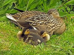 Snoozing Ducklings with Mum! (Cornishcarolin. Stupid busy!! xx) Tags: cornwall httpswwwcornwallgovukenvironmentandplanningparksandopenspacestehidycountrypark nature birds mallards ducks ducklings sleepingducks