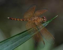 Dragonfly macro (billcoo) Tags: xf80mm travel bokeh xt2 fujifilm xf14x