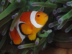 Amphiprion ocellaris (chaloklum) Tags: amphiprionocellaris romblon philippines water ess tauchen thethreep uderwaterphotography unterwasser underwater undersea uwmacro uwphoto underwatermacro insel ocean olympus philippinen asia scuba scubadiving salzwasser diving dive fins korallen clownfish nauticam meer macro makro