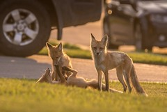 In the neighbourhood (Tracey Rennie - mainly off) Tags: fox cochrane alberta family kit pup cub playing dad urban