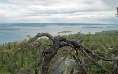 National Park Koli - Finland (Sami Niemeläinen (instagram: santtujns)) Tags: koli suomi finland lieksa pielinen metsä forest luonto nature kansallispuisto national park 35mm film kinofilmi lomography minolta kodak kodad analog photography