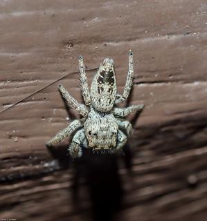 Metaphidippus albopilosus - Metaphidippus Jumping Spider (Elizabeth Maria Gifford Peckham & George William Peckham, 1901)