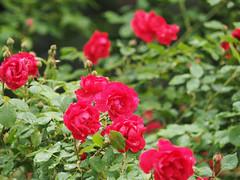 Baden bei Wien Frühling 2018 (arjuna_zbycho) Tags: wiosna frühling spring kwiaty blumen flowers róża rose rosas roses róże rosu rosae flower kwiat blume makrofoto macrophoto