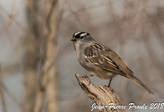Bruant a Couronne Blanche / White -crowned Sparrow (proxy46) Tags: 200500mm2018 bruantacouronneblanche nikon rondeauont bruant d500 oiseau morpeth ontario canada ca