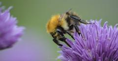 Bumble Bee (Thomas P J McGinnes) Tags: bee countryside environment flower garden life nature outdoors pollen wildlife pollinator