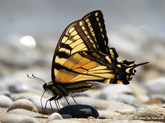 Beach Beauty (JamesEyeViewPhotography) Tags: north manitouisland summer beach rocks nature butterfly tiger swallowtail macro lake michigan greatlakes northernmichigan sleepingbeardunesnationallakeshore water waves sun jameseyeviewphotography leelanaucounty