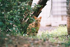 (YL.H) Tags: canon 500n hillvale sunny16 cat 貓 底片 analog film 鶯歌