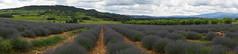 Lavandes (passionpapillon) Tags: panoramique paysage fleurs lavande champs passionpapillon 2018