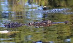 American alligator (Alligator mississippiensis) (im2fast4u2c) Tags: american alligator mississippiensis sheldonlakestatepark crocodilian reptile