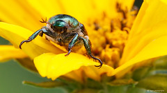 Japanese beetle (dpsager) Tags: chicago dpsagerphotography flowers illinois junebug lincoln insect saariysqualitypictures japanesebeetle