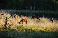 Horses grazing at dawn