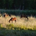 Horses grazing at dawn thumbnail