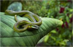 Dendrophidion sp. (Ana O.D.) Tags: dendrophidion snake herpetology herping reptile wildlife nature serpiente culebra naturaleza fauna wild ecuador