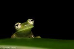 Spiny glass frog (Teratohyla spinosa) (edward.evans) Tags: spinyglassfrog teratohylaspinosa glassfrog frog centrolenidae teratohyla costaricanamphibianresearchcentre crarc siquirres costarica wildlife nature macro amphibian rana herp herping green