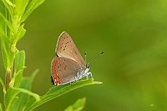 Porte-queue abrogé / Coral Hairstreak (alainmaire71) Tags: insect lepidoptera lépidoptère papillon butterfly lycaenidae satyriumtitus portequeueabrogé coralhairstreak nature quebec canada
