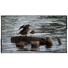 Goldeneye in crouch position. #photography #photooftheday #photoadaychallenge #opcmag #canon7d #sigma150600 #duck #commongoldeneye #nature #project365 #calgary #yyc