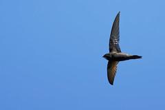 Martinet A7302799_DxO (jackez2010) Tags: ilce7m3 sel14tc fe100400mmf4556gmoss martinetnoir bif birdinflight