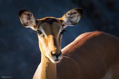 Impala portrait (He Ro.) Tags: 2018 botswana chobenp impala serondela southernafrica aepycerosmelampus antelope antilope botsuana mammal wildlife safari afrika africa coth coth5 fantasticnature