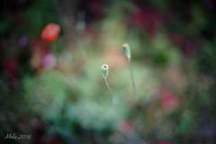 Startup (lichtspuren) Tags: pflanze plant poppy mohn red rising closed nature bokeh canon fd 50mm f14 ssc lichtspuren