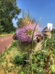 Bumblebees on Teasel (sander_sloots) Tags: bumblebee bee insect teasel plant flower schiedam kaardebol hommels prinses beatrixpark hazepad insecten