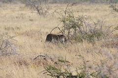 DSC_2500 (Andrew Nakamura) Tags: etosha namibia etoshanationalpark projectdragonfly earthexpeditions mammal bigcat felid leopard africanleopard animal wildlife