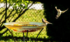 The Landing .. L'atterrissage (Bob (sideshow015)) Tags: landing flight atterrissage vol oiseau mississauga ontario d7100 bain cour été bird bath yard summer canada nikon
