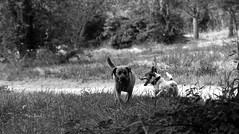c'est ma balle !!! - it's my ball !!! (vieux rêveur) Tags: nb bw blanc white blanco noir black negro noiretblanc bokeh dog chien animal nature