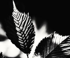 Art of the tree (PinoyFri) Tags: licht schatten light shadow blatt leaf structures lines photosynthese blätterwerk bw sw ใบไม้ folha blad dahon 葉 lehtiä foglia lá luce ライト lumière luz nahaufnahme blackwhite schwarzweiss