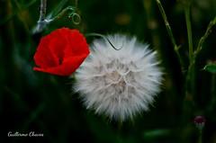 9 de julio (GTCHD) Tags: gtchd primavera printemps amapola rojo blanco red white flor flower fleur