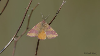 Ampfer-Purpurspanner (Lythria cruentaria)