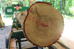 History Tree (view2share) Tags: july july62018 2018 july2018 reserve houghtoncounty camp woods up upperpeninsula uppermichigan northernmichigan northwoods northwood michigan mi deansauvola summer tree growthrings annualrings year years history logging tamarack softwood mill milling sawmilling endgrain oldgrowth