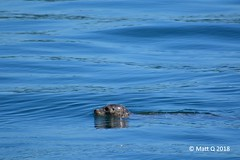 Harbor Seal (MattQ6) Tags: pointdefiance owenbeach seal pugetsound commencementbay tacoma harborseal wildlife