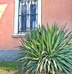 Pink and green. (arepax68) Tags: pink green wall yucca window hues colors summer pretty house