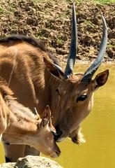 Mother and child. (pitkin9) Tags: animals elands motherandbaby yorkshirewildlifepark england