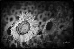 (364/18) Calor (Pablo Arias) Tags: pabloarias photoshop ps capturendx españa photomatix bn blancoynegro macrofotografía moixent valencia flor girasol naturaleza