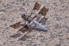 Thar be Dragon(flie)s (KWPashuk) Tags: nikon d7200 tamron tamron18400mm lightroom luminar luminar2018 kwpashuk kevinpashuk dragonfly insect flying resting outdoor wildlife nature royalbotanicalgardens burlington ontario canada