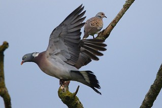 The Turtle Dove (Streptopelia turtur) and a Wood Pigeon