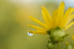 Flower and water (isaiahkasper) Tags: flower nature water yellow petal