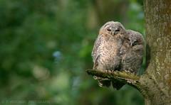 Snuggled together (tommerchant1) Tags: owl owlets tawnyowl bbcspringwatch bbc nature nikonnature nikonwildlife wildlife countryfile cannockchase staffordshire birdsofprey britishbirds cute chicks fledgling
