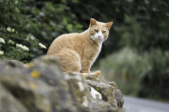 Garfield? (Norse_Ninja) Tags: cat ginger garfield panasonic gh5 england bath journeyjd17