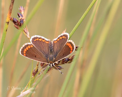 Brown Argus explored 1.8.18  #53 (~ **Barbara ** ~) Tags: butterfly brownargus naturereserve summerleys northamptonshire canon7dii macrolens explored uk