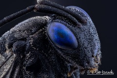 Blue eyed black wasp - Evaniidae (Karlgoro1) Tags: canon macro photo mpe 65mm f28 eye eyes zerene stacker insect focus stack closeup bug macrolife animal background sony alpha a6300 mirrorless digital camera ilce6300 blue eyed black wasp evaniidae