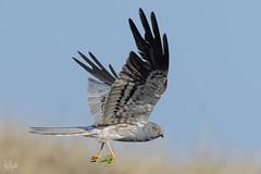 Albanella Minore (Polpi68) Tags: bird birds birdwatching albanella nature falco falcon uccello circus